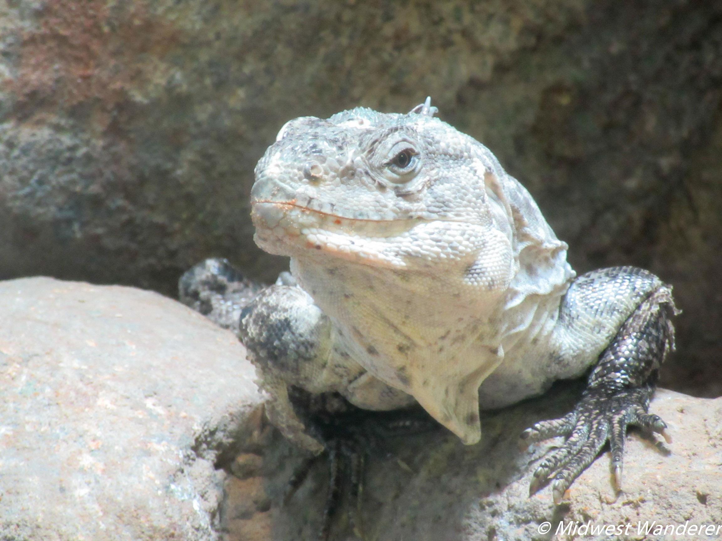 St. Louis Zoo - Lizard Two
