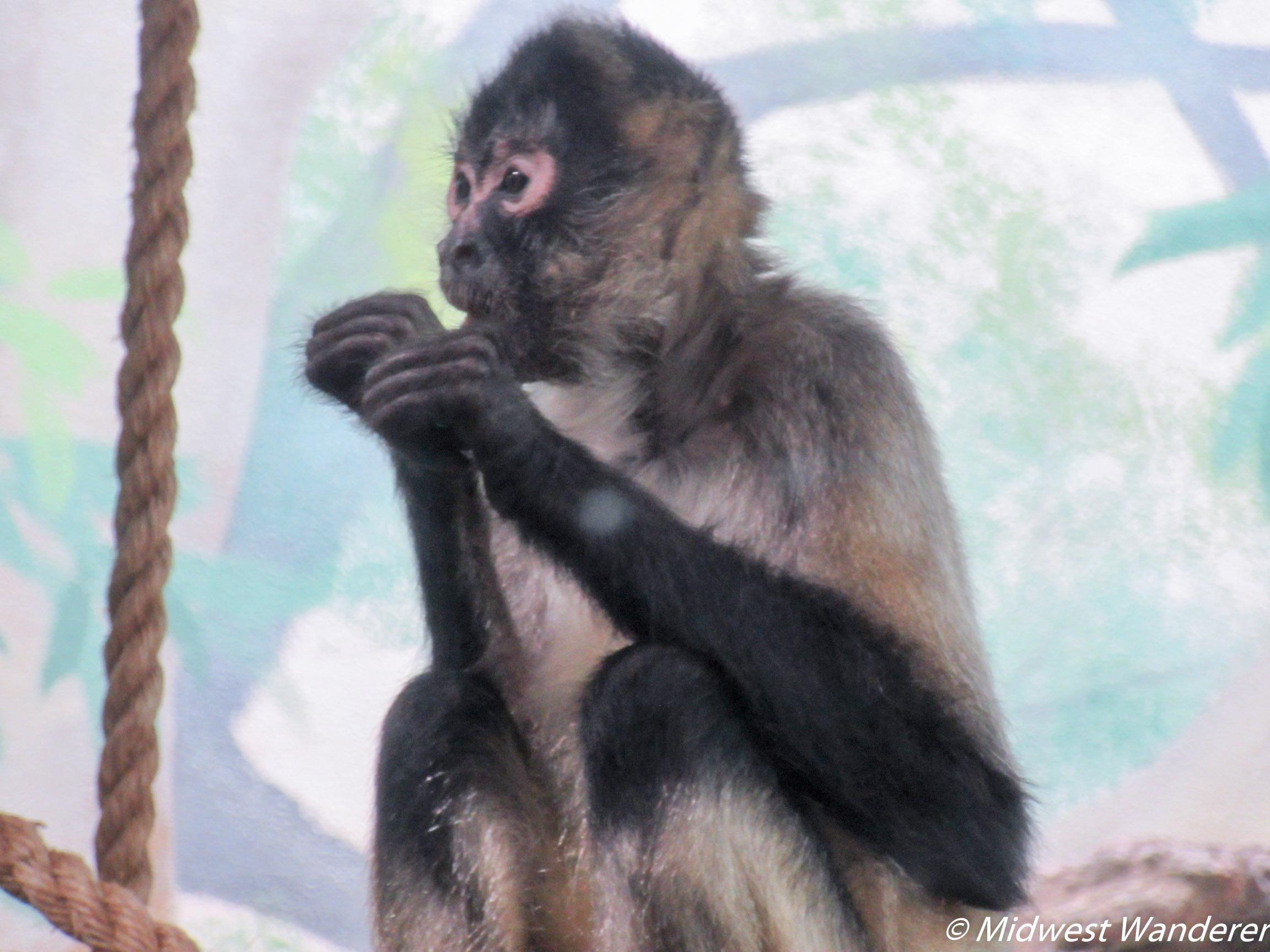 St Louis Zoo - Monkey