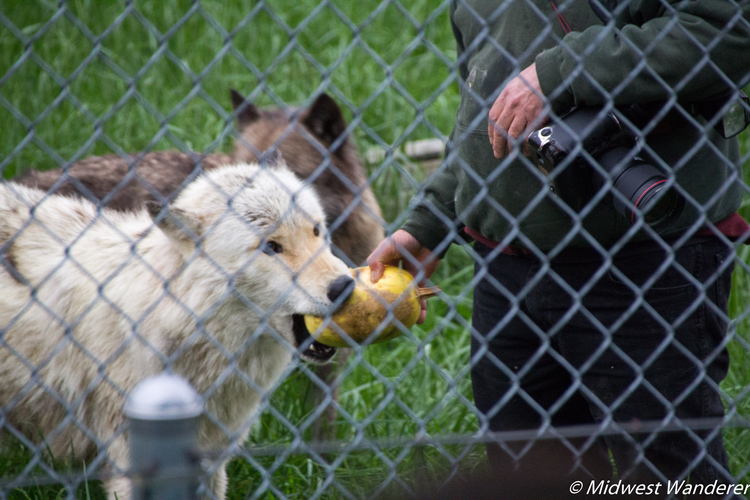 Wolf playing with spaghetti squash