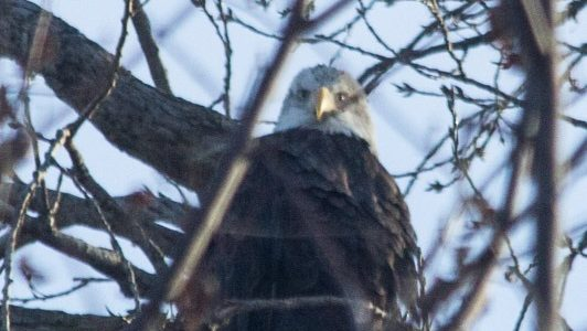 Why Alton is Perfect for Eagle Watching