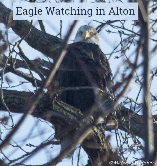 Eagle Watching in Alton