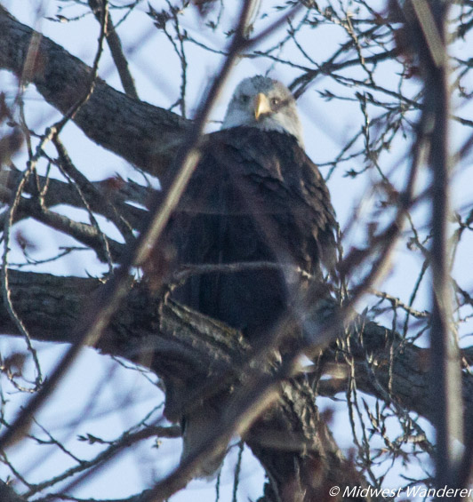 Eagle Watching in Alton Illinois